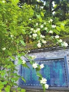 都江堰市离堆公园里的太平花。