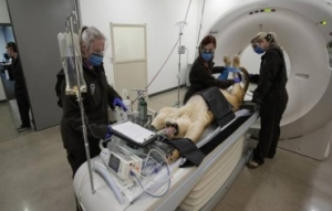 美国:狮子做CT扫描检查关节炎