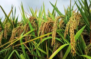 杂交水稻双季亩产创新纪录