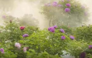 百花之中领群芳——跟文化名人魏新一起赏菏泽牡丹