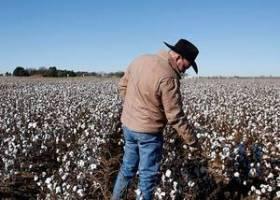 """美国棉花这一年的""""BCI率"""",只有中国棉花一半"""