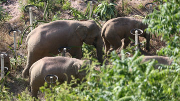 Wild elephants enter Kunming City, defense campaign launched