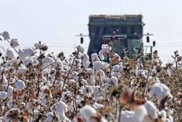 我们新疆好地方!这就是咱们新疆的棉花