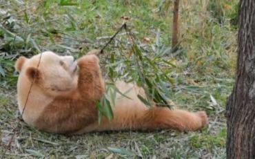 唯一圈養棕色大熊貓與游客見面