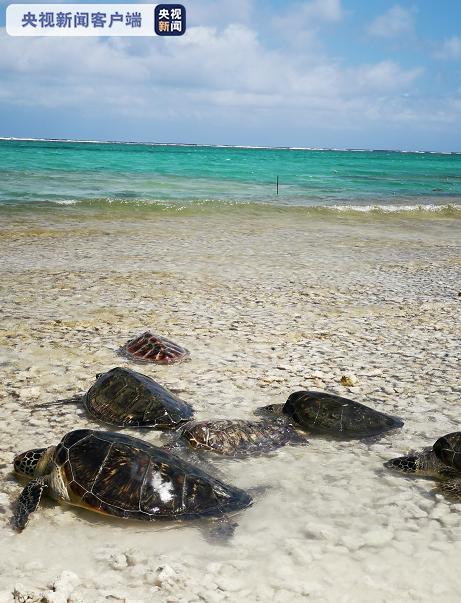海南三沙市永兴岛160只救护海龟回归大海