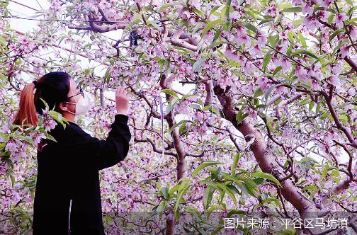 桃农们忙着梳花、授粉 平谷马坊镇温室鲜桃3月上市