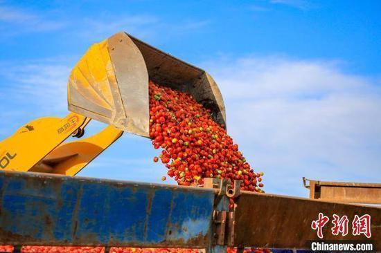 (图说:在新疆博湖县乌兰再格森乡乌兰再格村番茄地里,农牧民群众用装载机装运番茄。)