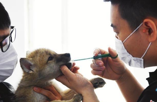 黑龙江完成国内首例未满月北极狼驱虫治疗