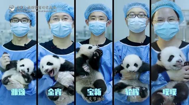 奶萌奶萌的!新生熊猫幼仔亮相 共庆祖国华诞