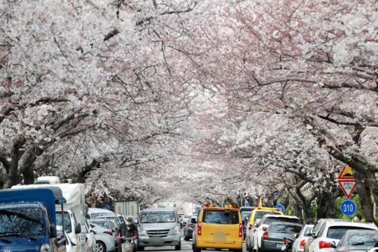 韩国釜山樱花盛开