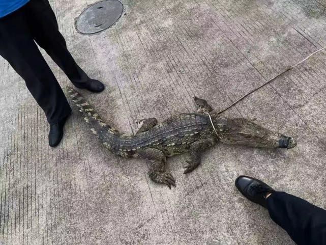 """""""食人鳄""""闯入集贸市场被警方消防联手捕获"""