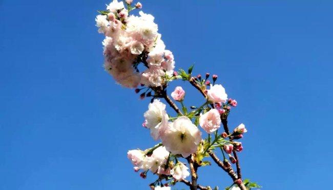 2021年观澜湖樱花节2月14日-4月12日举办 附樱花实拍图