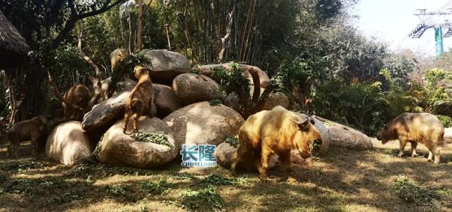 广州一级保护动物金毛羚牛春节前搬进新居迎接八方宾客