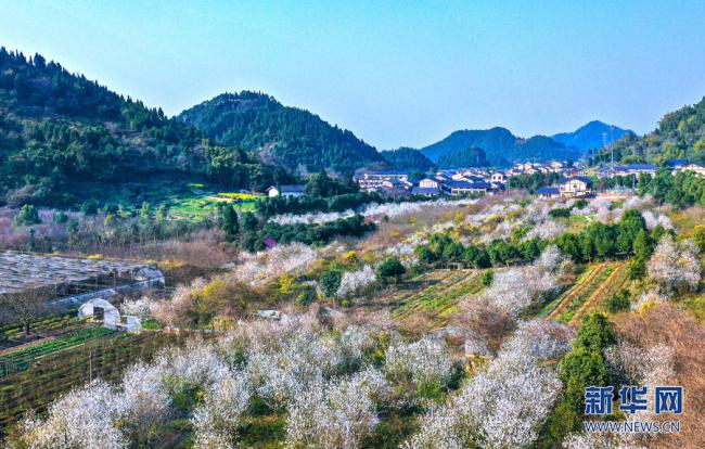 漫山遍野的樱花如漫天飞舞的雪 来重庆云龟山赴一场与春天的约会