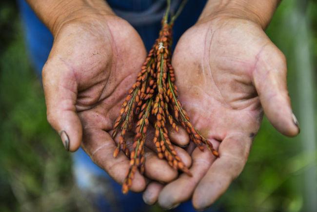 第一观察丨中央经济工作会议,为何强调解决好种子问题?