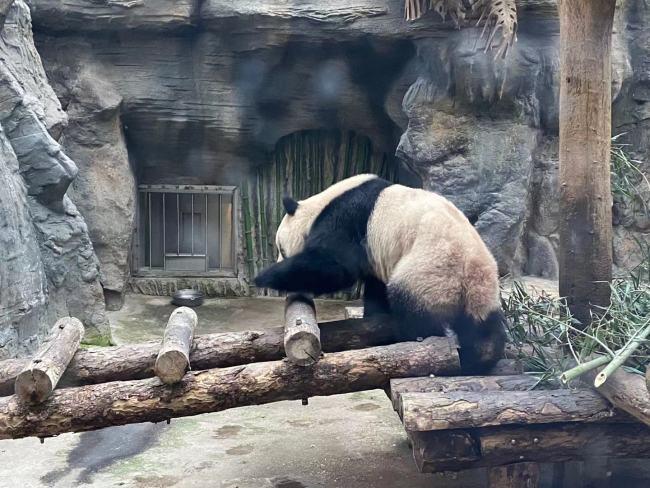 """欢庆""""海洋""""新年,上海北极熊过年吃到4斤重大饺子"""