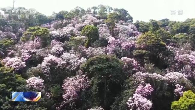 【春日中国】广东深圳:梧桐山上春意浓 姹紫嫣红杜鹃开