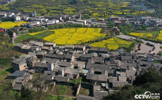 贵州安顺:万亩油菜花迎春绽放