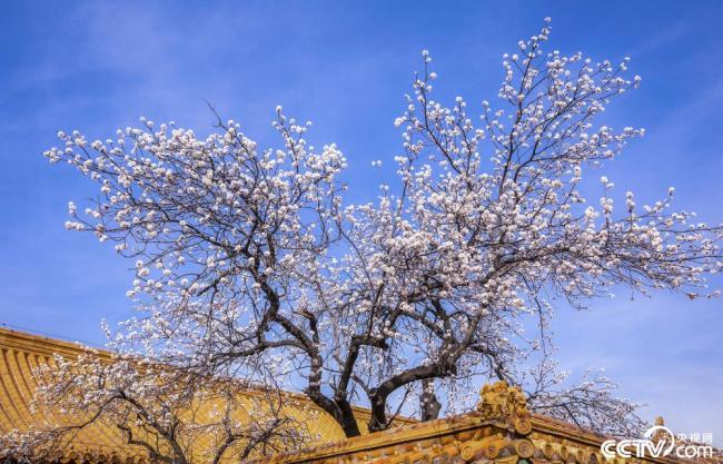 北京故宫内的杏花盛开