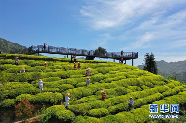 【樱花又开放——疫后重振看湖北】三峡茶旅小镇打造湖北宜昌茶旅融合亮丽名片