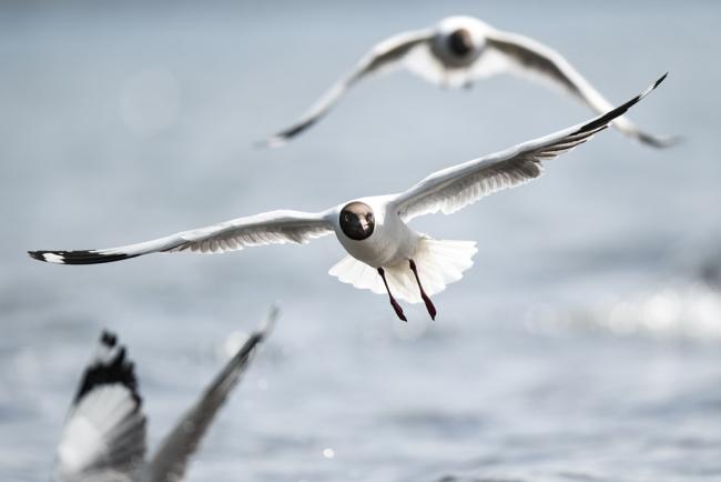 4月8日,一群棕头鸥在青海湖岸边飞翔。