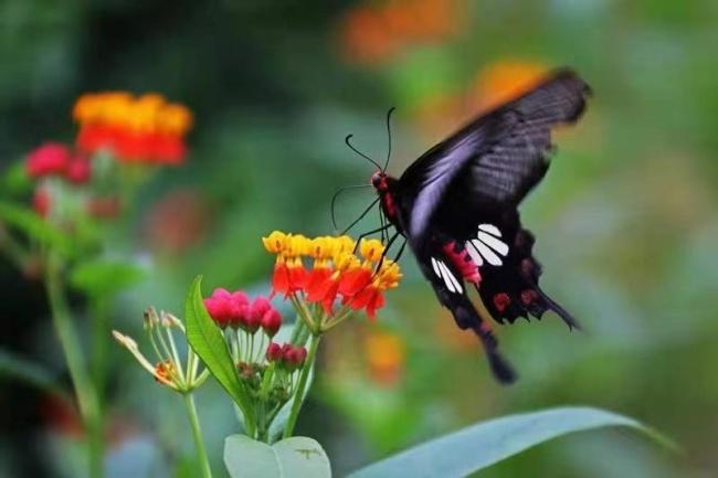 1.5亿只!云南预计将现十年来最大规模蝴蝶大爆发