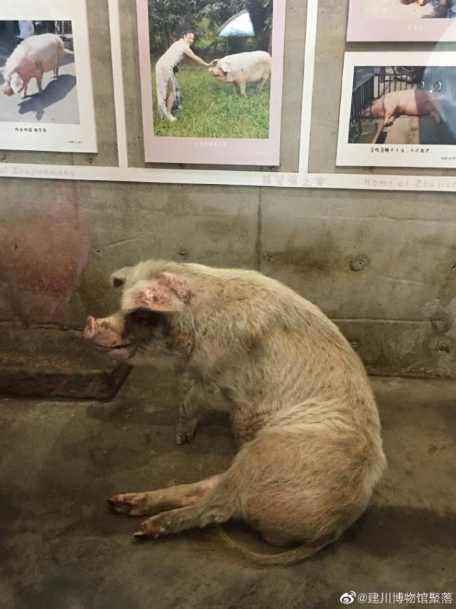 """建川博物馆:14岁""""猪坚强""""已入弥留,只在须臾"""