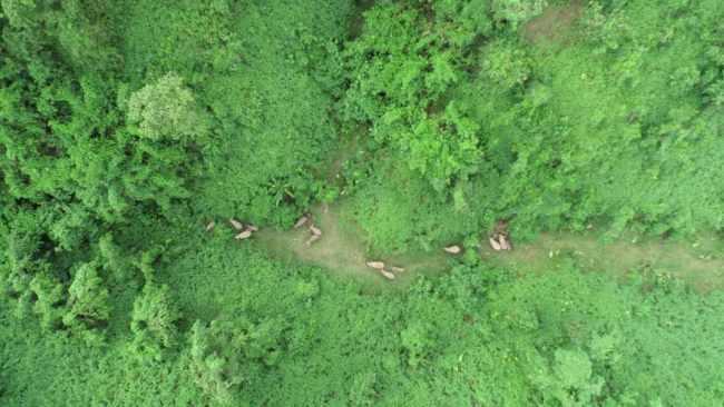 野象逗留西双版纳植物园 上千种珍稀植物面临风险