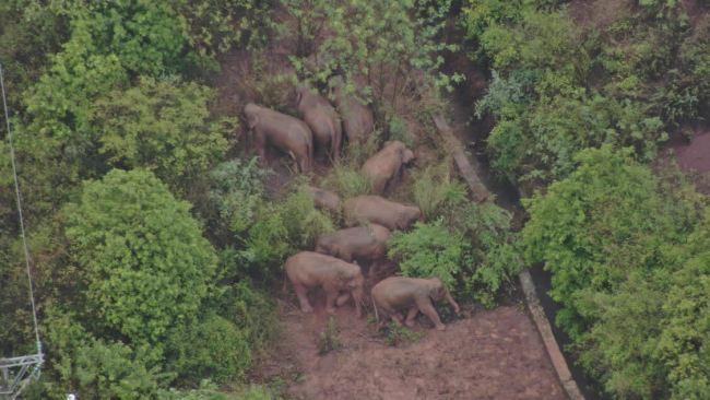 6月11日17:00|象群总体向西南迁移