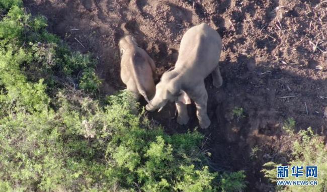 云南北移亚洲象群从峨山县重回易门县