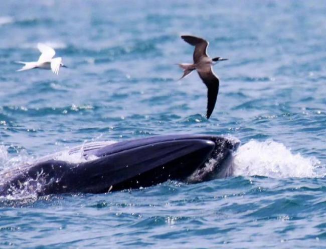 布氏鲸再次现身!深圳大鹏湾呼吁:不围观不靠近