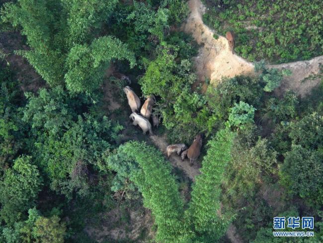 云南北移亚洲象群从玉溪市新平县进入红河州石屏县