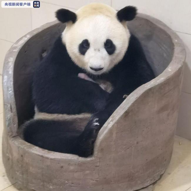 """大熊猫""""平平""""""""乔伊""""同日产崽 都是双胞胎!"""