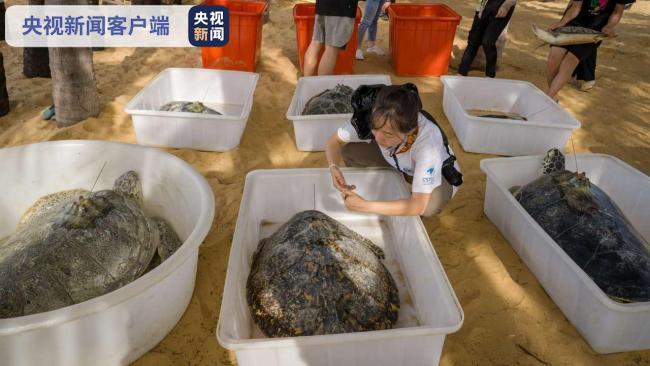 海南陵水:11只海龟回家 均属国家一级保护动物