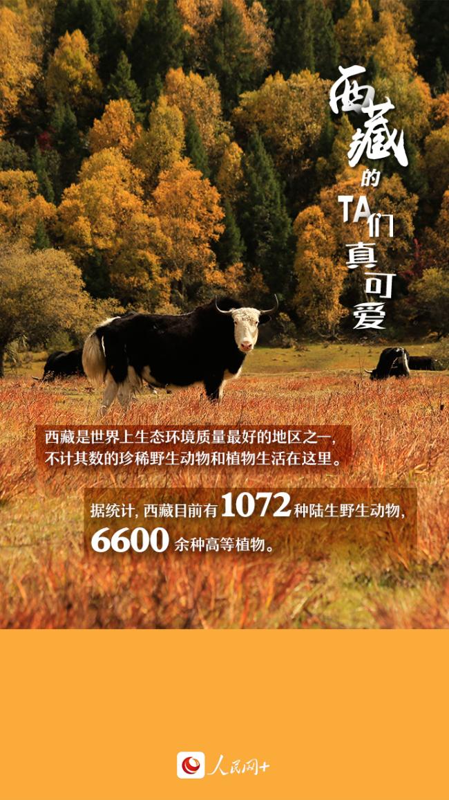 """近距离观察西藏""""萌物"""",走起!"""