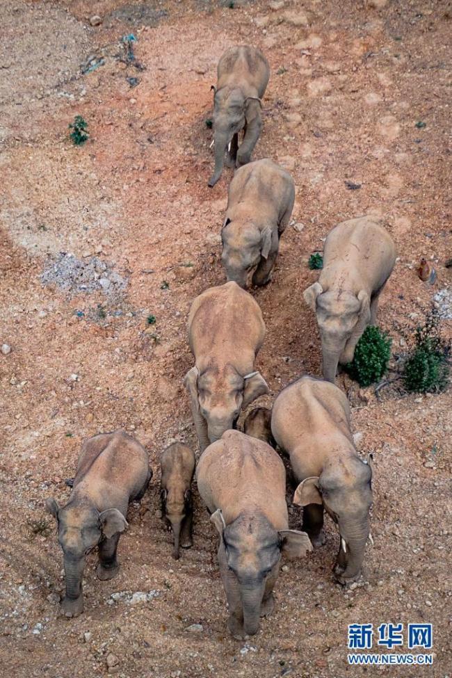 大象奇游记——云南亚洲象群北移南归纪实