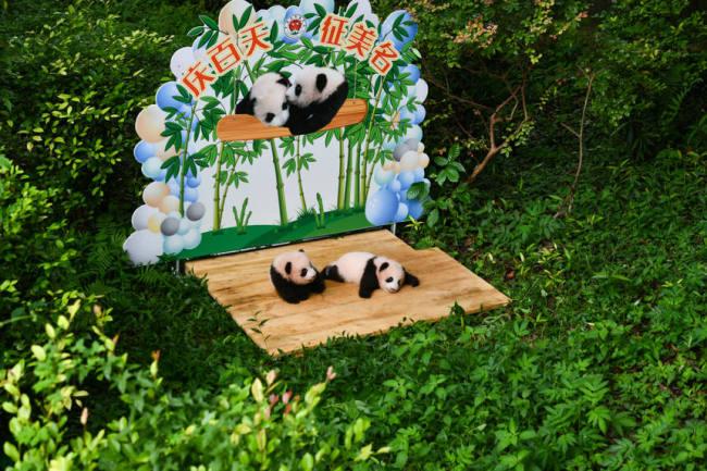 重庆动物园双胞胎大熊猫满百天。邹乐摄