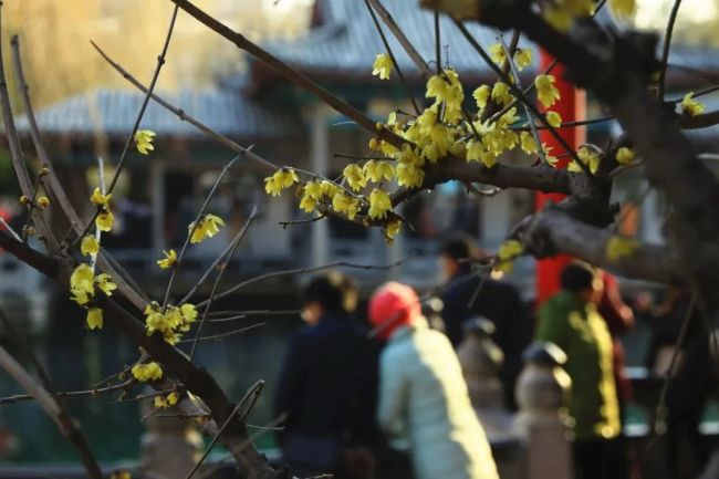 花气袭人知昼暖——济南趵突泉风景区玉兰与腊梅竞妍,共贺牛年好春光
