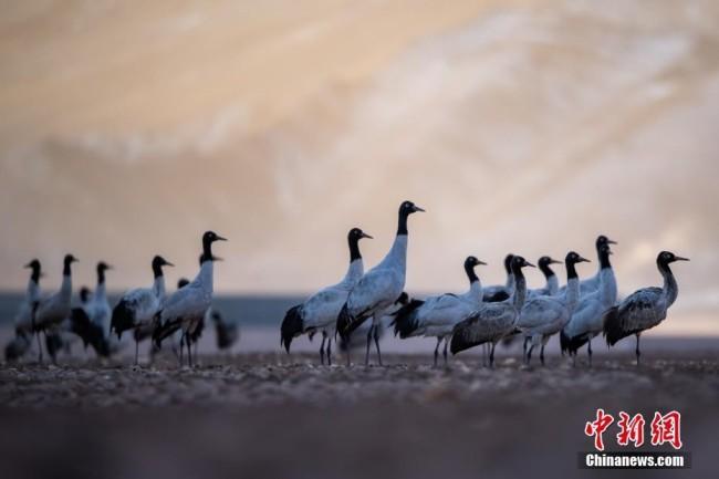 2月17日,西藏拉萨市林周县黑颈鹤保护区内,黑颈鹤嬉戏、觅食。中新社记者 何蓬磊 摄