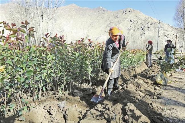 图为拉萨市曲水县才纳乡纳木村村民正在房前屋后种植树苗。