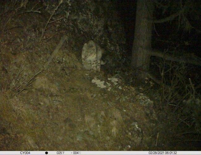 红外相机拍摄到的雪豹。图由林芝市林草局提供