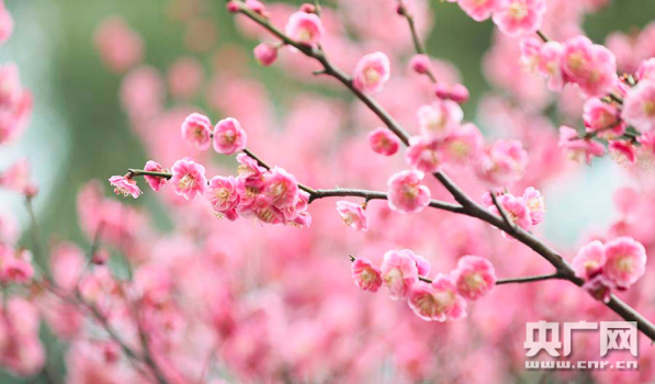 遇見中國:臘梅迎春開