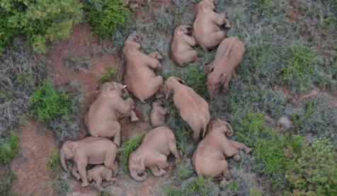 一路逛吃玩耍的大象何时回家?
