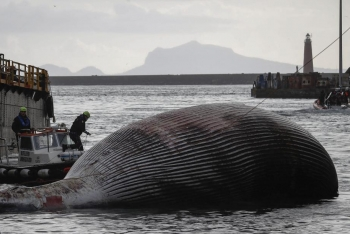 意大利那不勒斯海湾一只鲸鱼搁浅死亡